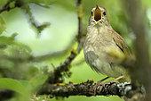 Rufous Nightingale (Luscinia megarhynchos) singing on a branch, Burgundy, France