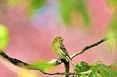 Serin cini (Serinus serinus) mâle en plumage nuptial sur une branche dans un cerisier, Bourgogne, France
