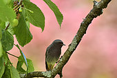 Black Redstart (Phoenicurus ochruros) male on a branch in an old cherry tree, Burgundy, France