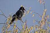 Carrion Crow (Corvus corone) on top of a birch tree in spring, Country Garden, Lorraine, France