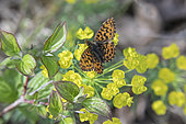 Weaver's fritillary (Boloria dia) on a flowering spurge in spring, Roadside in forest, surroundings of Marbache, Lorraine, France