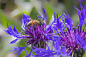 Honey bee (Apis mellifera) on a centaury flower for foraging in spring, Country garden, Lorraine, France