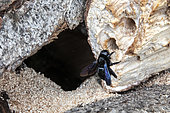 Carpenter bee (Xylocopa violacea) posed in front of the entrance to a spawning gallery dug in a wooden log stored in spring, Country Garden, Lorraine, France