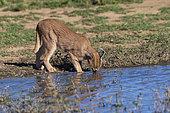Caracal (Caracal caracal), buvant, Animal en conditions contrôlées, présent en Afrique et en Asie, Réserve privée, Namibie