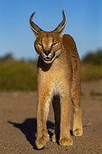 Caracal (Caracal caracal), portrait, Animal en conditions contrôlées, présent en Afrique et en Asie, Réserve privée, Namibie