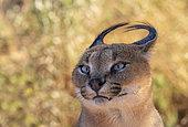 Caracal (Caracal caracal), portrait de mâle, Animal en conditions contrôlées, présent en Afrique et en Asie, Réserve privée, Namibie