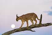 Caracal (Caracal caracal) , Occurs in Africa and Asia, Namibia, Private reserve, Adult under controlled conditions, on a tree with the moon