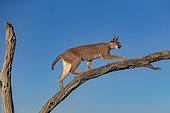 Caracal (Caracal caracal), sur un arbre, Animal en conditions contrôlées, présent en Afrique et en Asie, Réserve privée, Namibie
