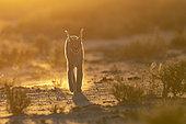 Caracal (Caracal caracal), marchant, Animal en conditions contrôlées, présent en Afrique et en Asie, Réserve privée, Namibie