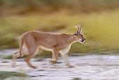 Caracal (Caracal caracal), courant, Animal en conditions contrôlées, présent en Afrique et en Asie, Réserve privée, Namibie