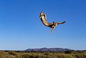 Caracal (Caracal caracal), sautant, Animal en conditions contrôlées, présent en Afrique et en Asie, Réserve privée, Namibie
