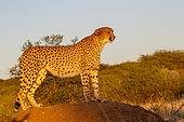 Cheetah (Acinonyx jubatus), captive, Private reserve, Namibia