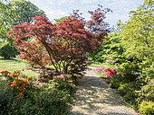 Acer japonicum 'Aconitifolium', Ecole du Breuil, Bois de Vincennes, Paris, France