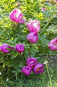 Paeonia lactiflora 'Gay Paree' Breeder : Auten 1933