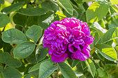 Rosa 'Rose de Rescht' Obtenteur : Miss Nancy Lindsay