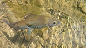 European grayling (Thymallus thymallus) in the water, Doubs, Franche Comté, France