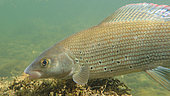 European grayling (Thymallus thymallus) under water, Doubs, Franche Comté, France