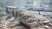 Brown trout (Salmo trutta fario), wild trout of Mediterranean stock, fly fishing, Cusansin river Doubs, Franche Comté, France