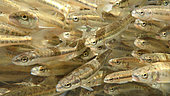 Minnows (Phoxinus phoxinus) stalling fish during inventory fishing, Doubs River, Doubs, Franche Comté, France