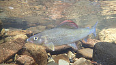 European grayling (Thymallus thymallus) under water, Thur river, Haut Rhin, Alsace, France