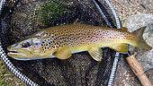 Brown trout (Salmo trutta fario) Wild trout in a landing net, Fly fishing, Riviere Thur, Haut Rhin, Alsace, France
