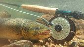 Brown trout (Salmo trutta fario), Doller river, Fly fishing, Haut Rhin, Alsace, France