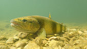 Brown trout (Salmo trutta fario), wild trout of Mediterranean stock, Cusancin River, Doubs, Franche Comté, France