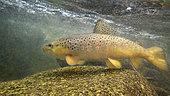 Brown trout (Salmo trutta fario), Thur river, Haut Rhin, Alsace, France