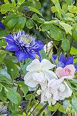 Rosa 'Sourire d'Orchidée', Clematis 'Multi Blue' Obtenteur : Croix (FRA) 1985