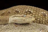 Asian sand viper (Eristicophis macmahoni).