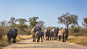 African bush elephant (Loxodonta africana) family walking rear view on safari road in Kruger National park, South Africa