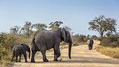 Éléphant de savanne d'Afrique (Loxodonta africana) femelle avec bébé traversant une piste de safari dans le parc national Kruger, Afrique du Sud