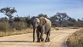 Jeune éléphant de savane d'Afrique (Loxodonta africana) marchant de face sur une piste de safari dans le parc national Kruger, Afrique du Sud