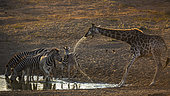 Group of Plains zebras (Equus quagga burchellii) and giraffe (Giraffa camelopardalis) drinking in waterhole at dawn in Kruger National park, South Africa