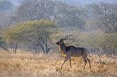 Greater kudu (Tragelaphus strepsiceros) male in savannah scenery in Kruger National park, South Africa