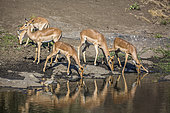 Small group of Common Impalas (Aepyceros melampus) drinking in waterhole with reflection in Kruger National park, South Africa