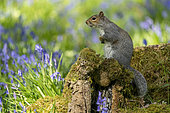 Grey squirrel (Sciurus carolinensis) standing on a log amongst bluebell, England