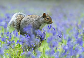Grey squirrel (Sciurus carolinensis) standing on a log amongst bluebell