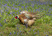 pheasant (Phasianus colchicus) male displaying in front of female