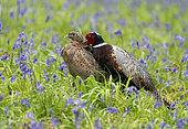 Pheasant(Phasianus colchicus) matting amongst bluebell, England