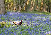 Pheasant (Phasianus colchicus) male amongst bluebell, England