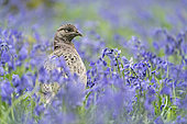 Pheasant(Phasianus colchicus) amongst bluebell in the rain, England