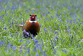 Pheasant (Phasianus colchicus) walking amongst bluebell, England