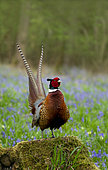 Pheasant(Phasianus colchicus) standing on a tree stump amongst bluebell, England