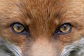 Red fox (Vulpes vulpes) close up. England