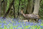 Roe deer (Capreolus capreolus) doe walking amongst bluebell, England