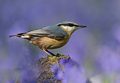 Nuthach (Sitta europaea) perched on a log amongst bluebell, England