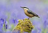 Nuthach (Sitta europaea) perched on a branch amongst bluebell, England