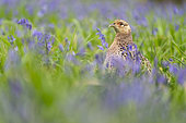 pheasant (Phasianus colchicus) female amongst bluebell, England