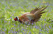 Pheasant (Phasianus colchicus) male displaying to female amongst bluebell, England